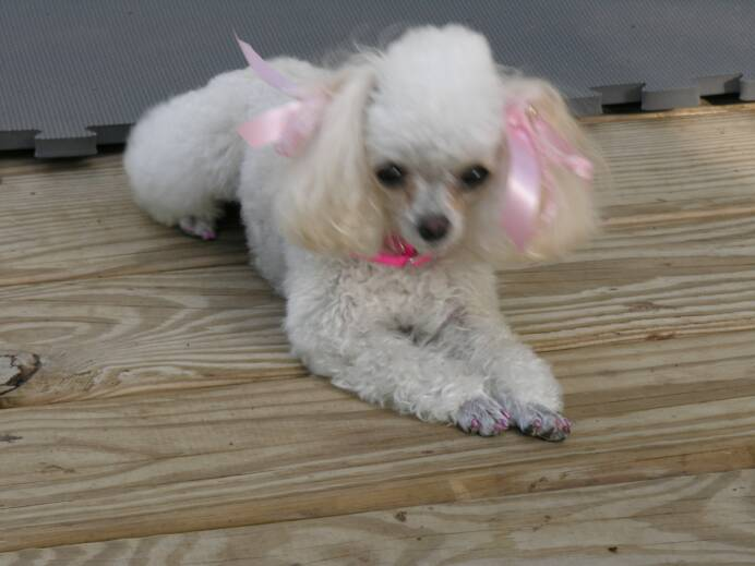 Teacup Poodle Pictures