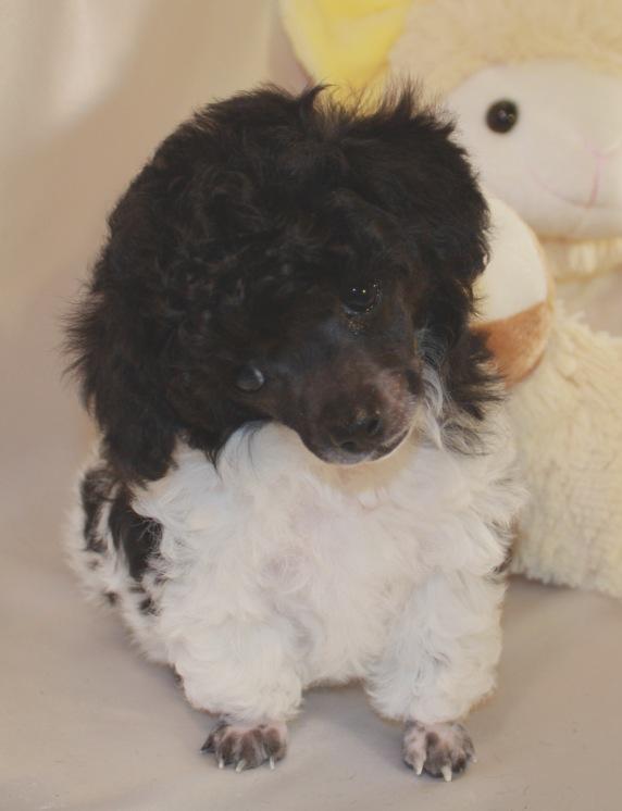 Baby Teacup Poodle