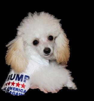Little Fuzzy Teacup Poodles